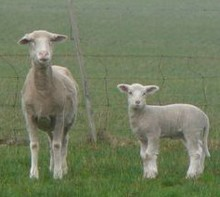 Sheep with lamb from Leigh trimmed_1