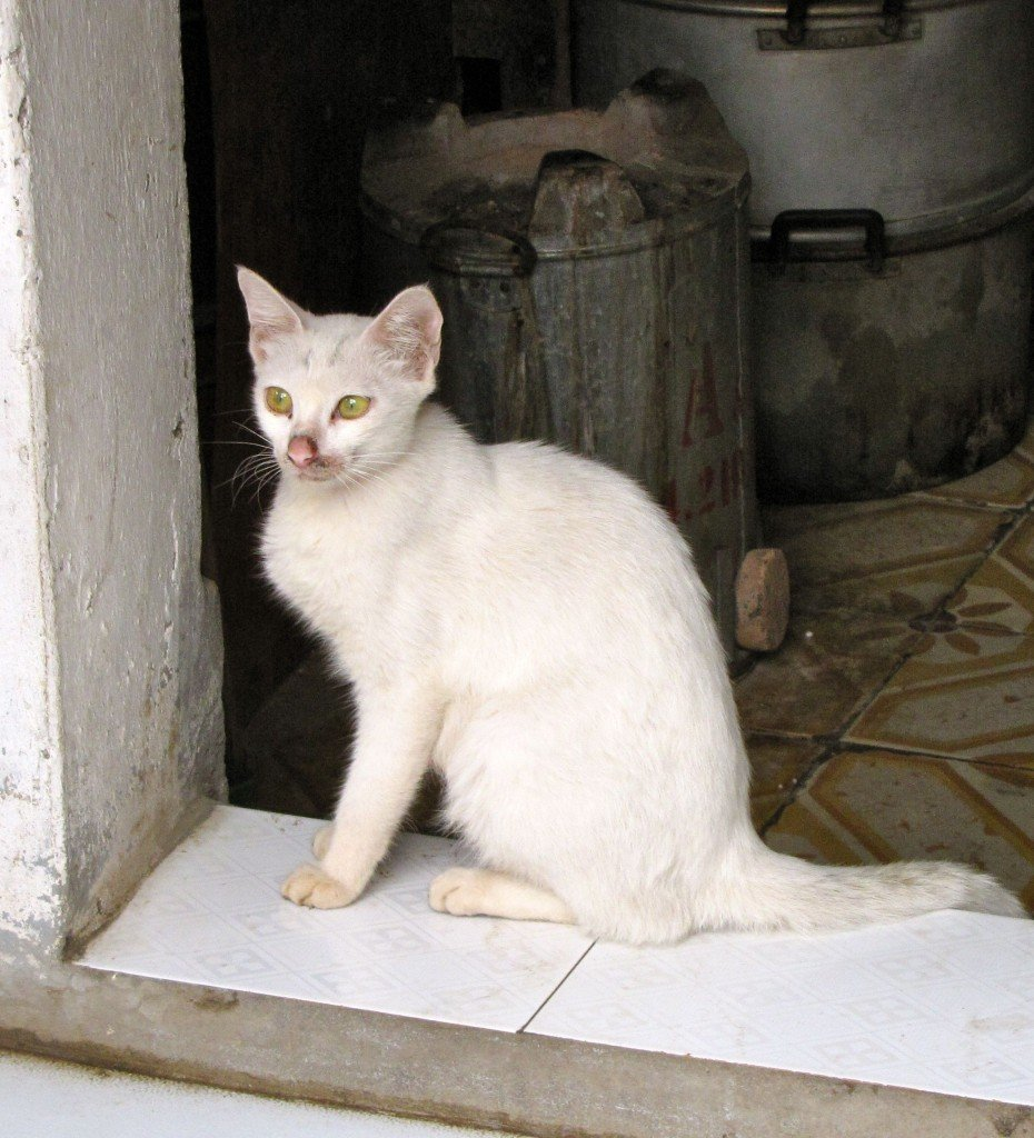 This photo was taken in Vietnam by my son Patrick and is used with this permission. It shows a domesticated cat. Cats are believed to have been domesticated first by the ancient Egyptians, whose huge grain stores needed protection from rodents.