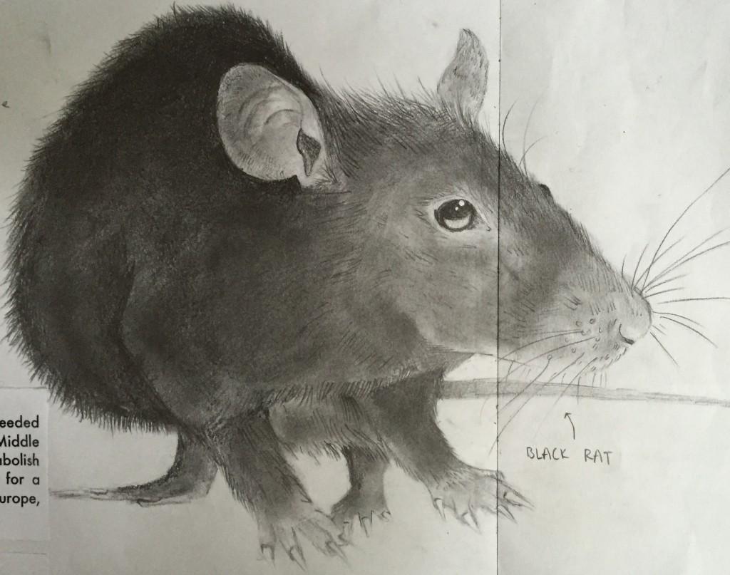 rat by Phyllis